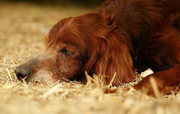 Ирландский-сеттер-собака-Описание-особенности-виды-уход-и-содержание-породы-7
