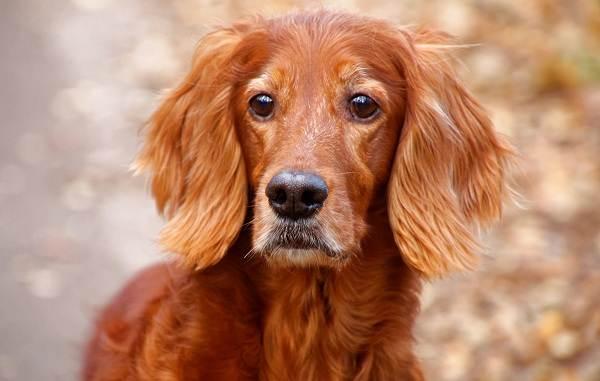 Ирландский-сеттер-собака-Описание-особенности-виды-уход-и-содержание-породы-8
