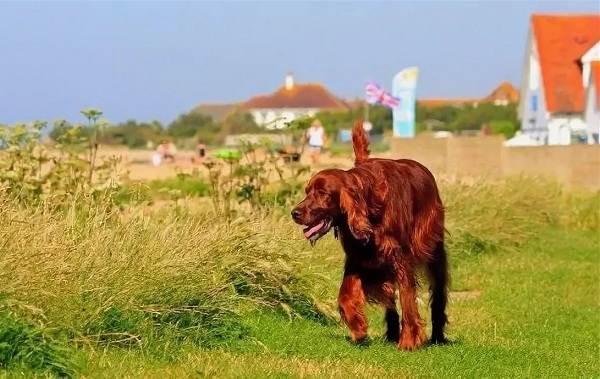 Ирландский-сеттер-собака-Описание-особенности-виды-уход-и-содержание-породы-9
