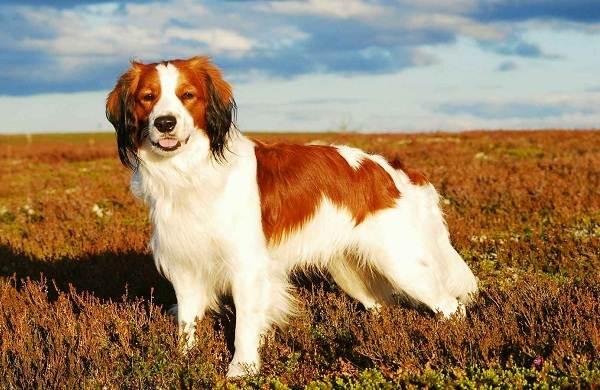 Коикерхондье-собака-Описание-особенности-цена-уход-и-содержание-породы-коикерхондье-1