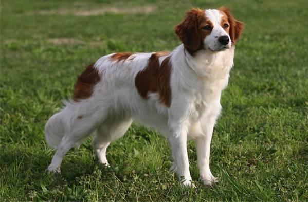 Коикерхондье-собака-Описание-особенности-цена-уход-и-содержание-породы-коикерхондье-10