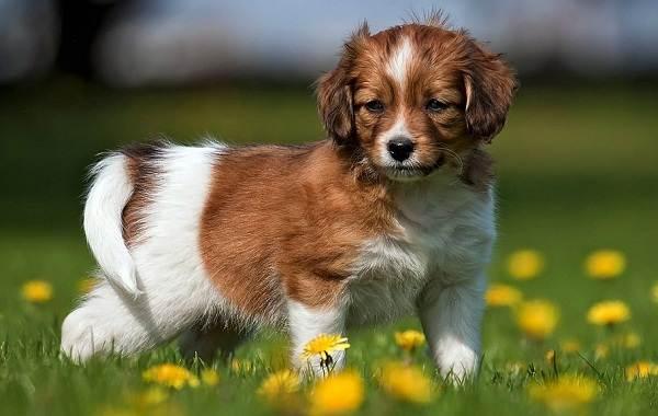 Коикерхондье-собака-Описание-особенности-цена-уход-и-содержание-породы-коикерхондье-11