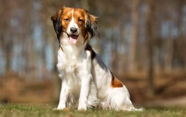 Коикерхондье-собака-Описание-особенности-цена-уход-и-содержание-породы-коикерхондье-12