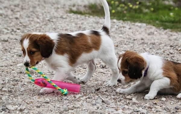 Коикерхондье-собака-Описание-особенности-цена-уход-и-содержание-породы-коикерхондье-13