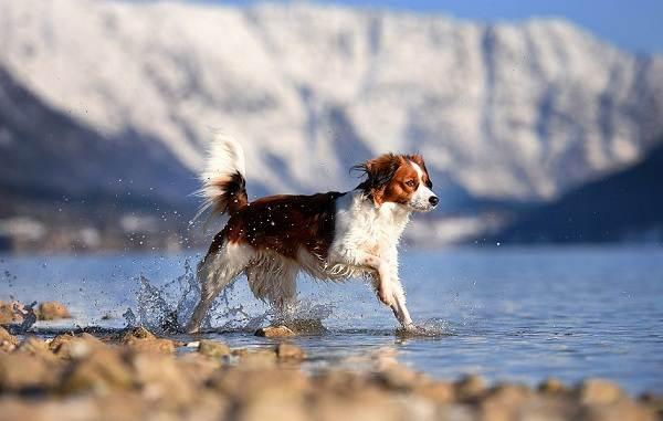 Коикерхондье-собака-Описание-особенности-цена-уход-и-содержание-породы-коикерхондье-14