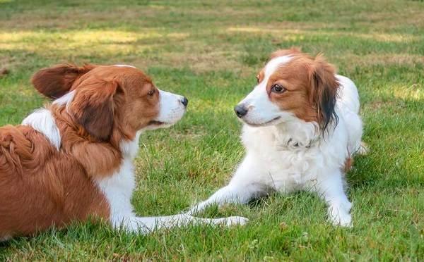 Коикерхондье-собака-Описание-особенности-цена-уход-и-содержание-породы-коикерхондье-15