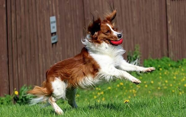 Коикерхондье-собака-Описание-особенности-цена-уход-и-содержание-породы-коикерхондье-16