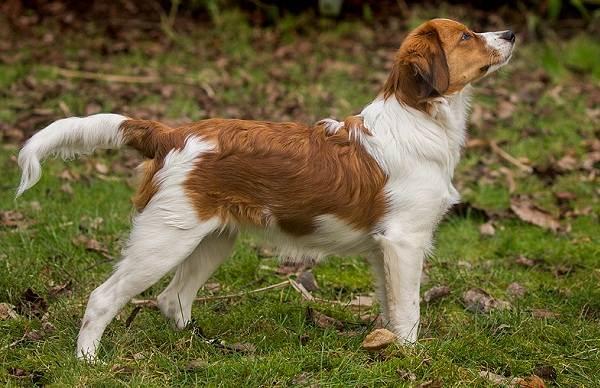 Коикерхондье-собака-Описание-особенности-цена-уход-и-содержание-породы-коикерхондье-17