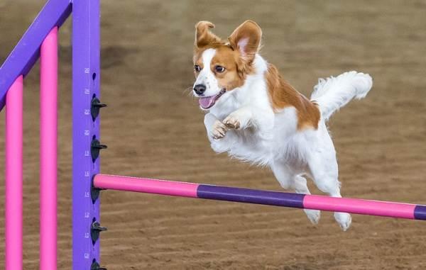 Коикерхондье-собака-Описание-особенности-цена-уход-и-содержание-породы-коикерхондье-18
