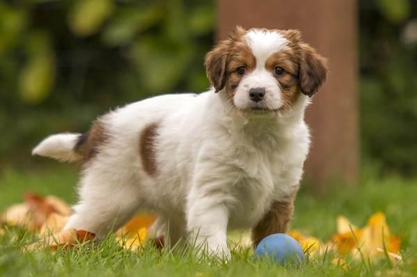 Коикерхондье-собака-Описание-особенности-цена-уход-и-содержание-породы-коикерхондье-2