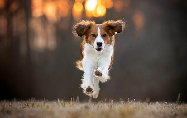 Коикерхондье-собака-Описание-особенности-цена-уход-и-содержание-породы-коикерхондье-3
