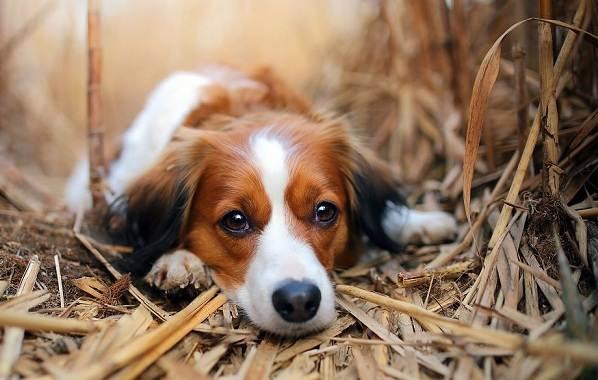 Коикерхондье-собака-Описание-особенности-цена-уход-и-содержание-породы-коикерхондье-5