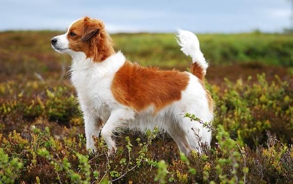 Коикерхондье-собака-Описание-особенности-цена-уход-и-содержание-породы-коикерхондье-6