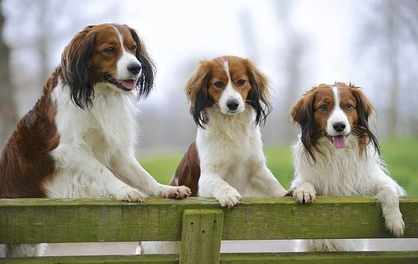 Коикерхондье-собака-Описание-особенности-цена-уход-и-содержание-породы-коикерхондье-7