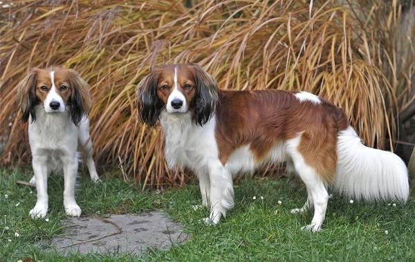 Коикерхондье-собака-Описание-особенности-цена-уход-и-содержание-породы-коикерхондье-8