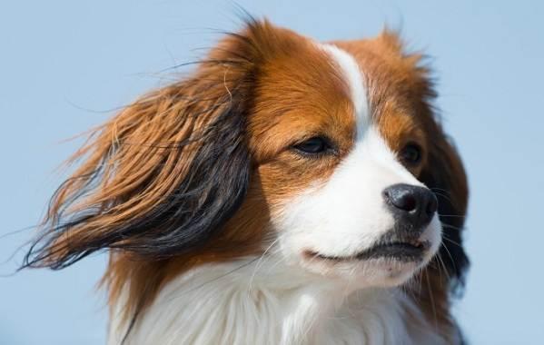 Коикерхондье-собака-Описание-особенности-цена-уход-и-содержание-породы-коикерхондье-9