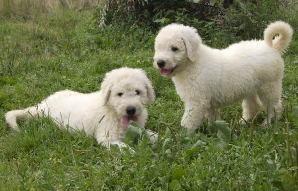 Командор-собака-Описание-особенности-виды-уход-и-цена-породы-командор-13