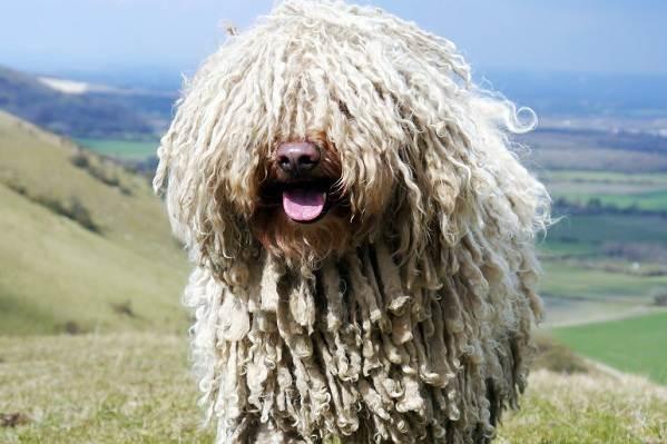 Командор-собака-Описание-особенности-виды-уход-и-цена-породы-командор-2