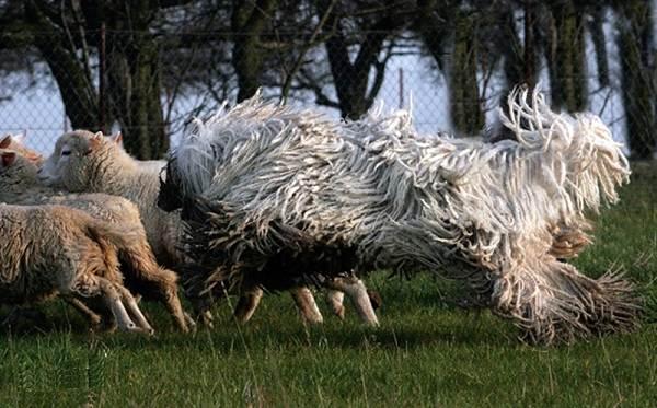Командор-собака-Описание-особенности-виды-уход-и-цена-породы-командор-3