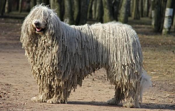 Командор-собака-Описание-особенности-виды-уход-и-цена-породы-командор-4