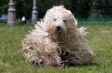 Командор собака. Описание, особенности, виды, уход и цена породы командор