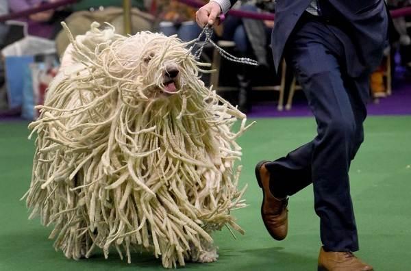 Командор-собака-Описание-особенности-виды-уход-и-цена-породы-командор-6