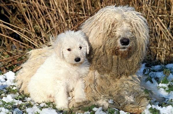 Командор-собака-Описание-особенности-виды-уход-и-цена-породы-командор-7