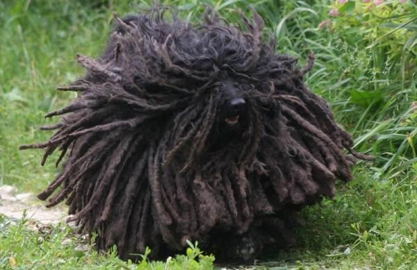 Командор-собака-Описание-особенности-виды-уход-и-цена-породы-командор-9