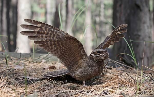 Козодой-птица-Описание-особенности-образ-жизни-и-среда-обитания-козодоя-1