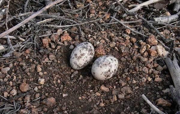 Козодой-птица-Описание-особенности-образ-жизни-и-среда-обитания-козодоя-10