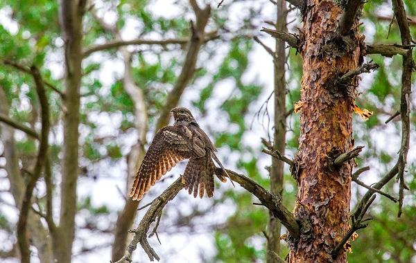 Козодой-птица-Описание-особенности-образ-жизни-и-среда-обитания-козодоя-13