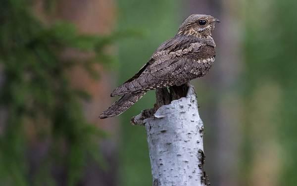 Козодой-птица-Описание-особенности-образ-жизни-и-среда-обитания-козодоя-2