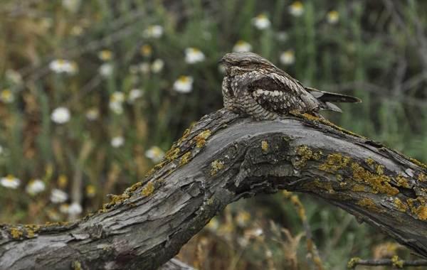 Козодой-птица-Описание-особенности-образ-жизни-и-среда-обитания-козодоя-3