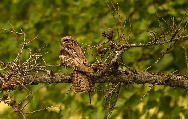 Козодой-птица-Описание-особенности-образ-жизни-и-среда-обитания-козодоя-4
