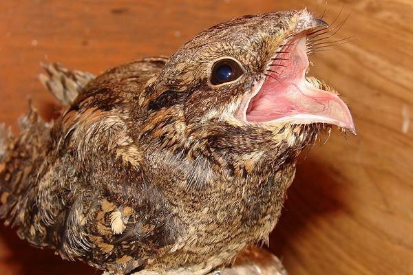 Козодой-птица-Описание-особенности-образ-жизни-и-среда-обитания-козодоя-6