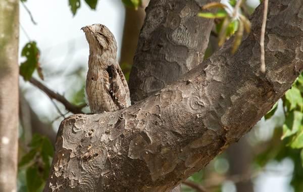 Козодой-птица-Описание-особенности-образ-жизни-и-среда-обитания-козодоя-7