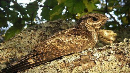 Козодой птица. Описание, особенности, образ жизни и среда обитания козодоя