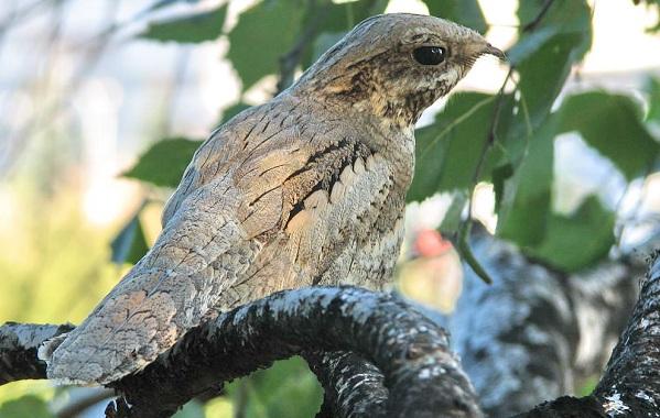 Козодой-птица-Описание-особенности-образ-жизни-и-среда-обитания-козодоя