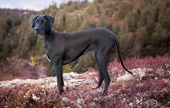 Крупные-породы-собак-Описания-названия-клички-и-особенности-крупных-пород-собак-10