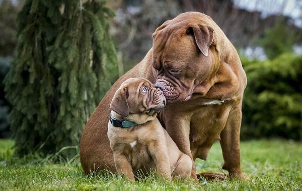 Крупные-породы-собак-Описания-названия-клички-и-особенности-крупных-пород-собак-12
