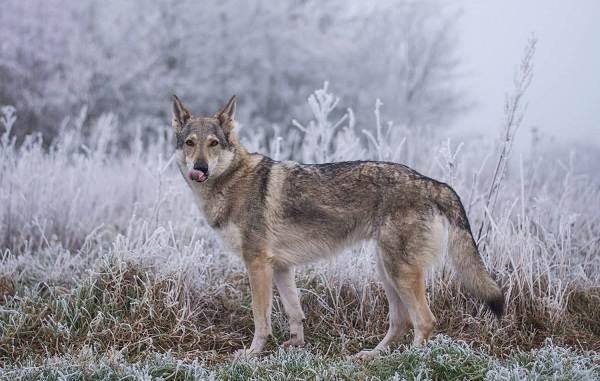 Крупные-породы-собак-Описания-названия-клички-и-особенности-крупных-пород-собак-13