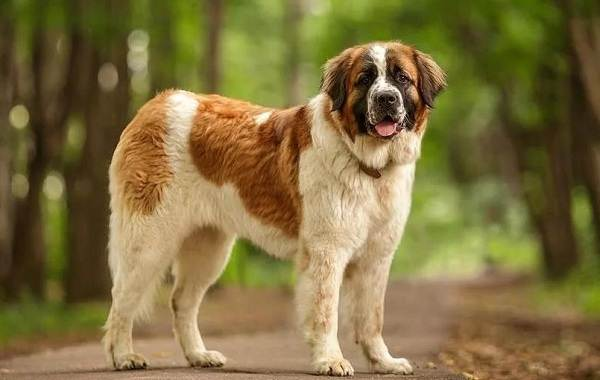 Крупные-породы-собак-Описания-названия-клички-и-особенности-крупных-пород-собак-14