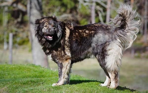 Крупные-породы-собак-Описания-названия-клички-и-особенности-крупных-пород-собак-15