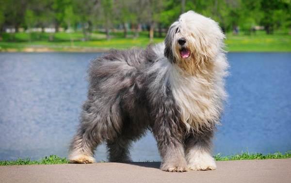 Крупные-породы-собак-Описания-названия-клички-и-особенности-крупных-пород-собак-17