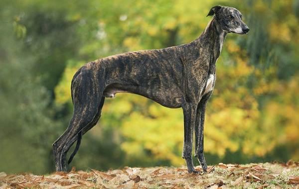 Крупные-породы-собак-Описания-названия-клички-и-особенности-крупных-пород-собак-18