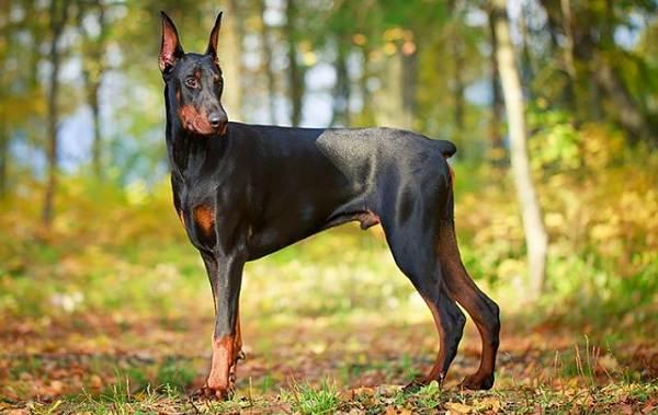 Крупные-породы-собак-Описания-названия-клички-и-особенности-крупных-пород-собак-19
