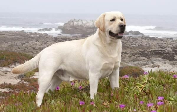 Крупные-породы-собак-Описания-названия-клички-и-особенности-крупных-пород-собак-22