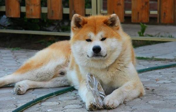 Крупные-породы-собак-Описания-названия-клички-и-особенности-крупных-пород-собак-23