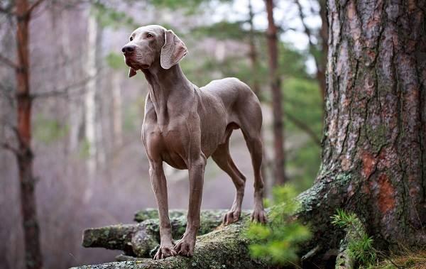 Крупные-породы-собак-Описания-названия-клички-и-особенности-крупных-пород-собак-3