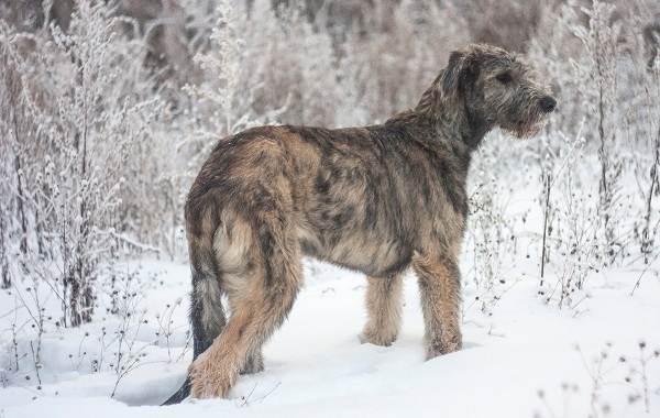 Крупные-породы-собак-Описания-названия-клички-и-особенности-крупных-пород-собак-4